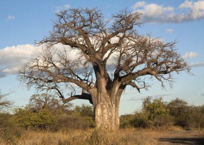 Baobab Baum - Botswana