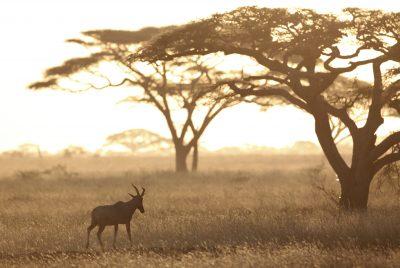 Baum - Serengeti - Tansania