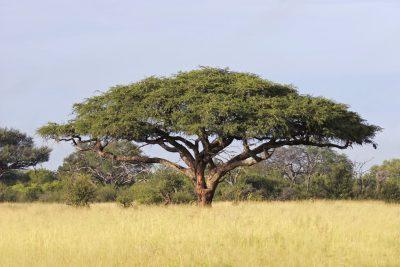 Simbabwe Rundreise -Baum - Simbabwe