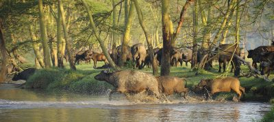 Bueffel im Wasser - Serengeti - Tansania