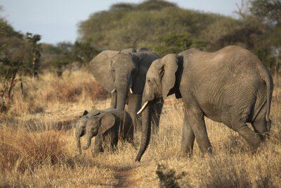 Elefanten Familie - Tansani