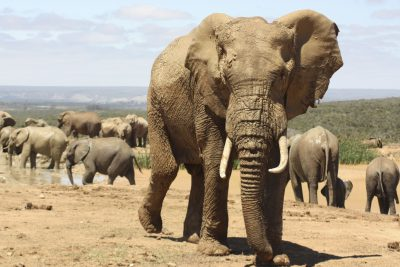 Suedafrika Naturreisen - Elefantenherde - Addo Elephant - Suedafrika