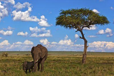 Elefanten in Savanne - Serengeti - Tansania