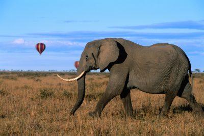 Elefant und Heissluftballon - Masai Mara - Kenia