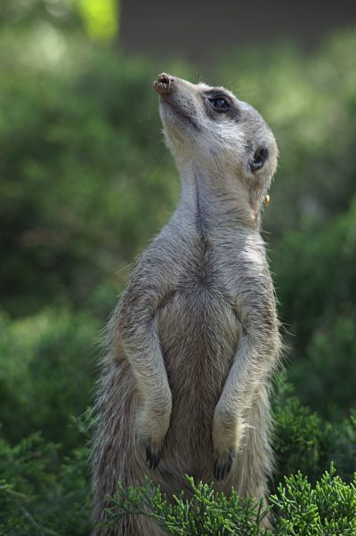 Erdmaennchen im Gras - Botswana