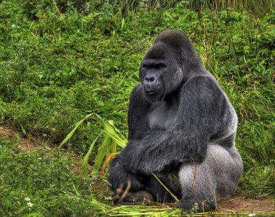 Kamerun Reise -Flachlandgorilla - Kamerun