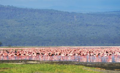 Flamingos - Lake Nakuru - Kenia