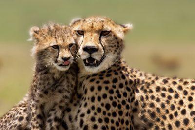 Tansania Safari -Gepard - Serengeti - Tansania