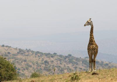 Giraffe - Akagera Nationalpark - Ruanda