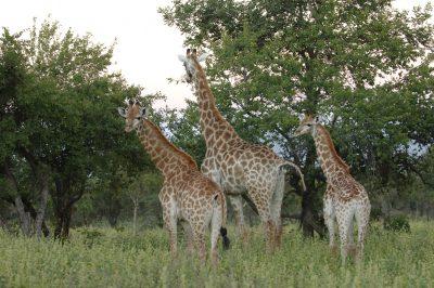 Namibia Suedafrika Rundreise - Suedafrika Naturreisen - Giraffen - Garden Route Private Game Park - Suedafrika