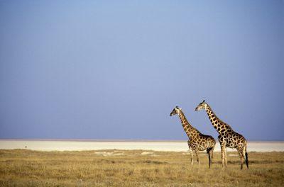 Namibia Erlebnisreise - Giraffen an der Salzpfanne - Etosha NP