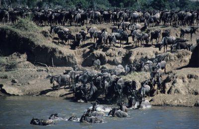 Gnus im Fluss - Masai Mara - Kenia