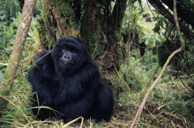Gorilla - Parc National des Vulcans - Ruanda