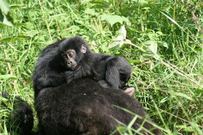 Gorilla Baby - Uganda