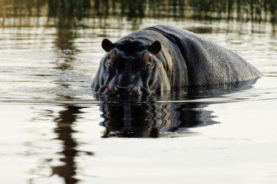 Namibia Abenteuerreise - Namibia Suedafrika Botswana Rundreise - Hippo im Wasser - Okavango Delta - Botswana