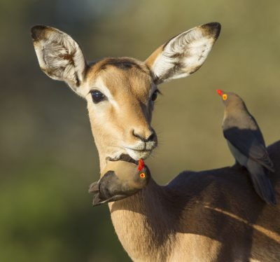 Impala - Chobe Nationalpark - Botswana