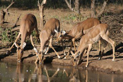 Impala Gruppe am Wasserloch - Tuli Block - Botswana