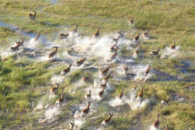 Impala Herde - Okavango Delta - Botswana