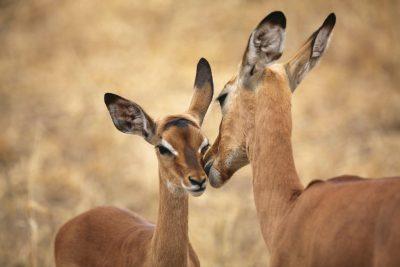 Namibia Gruppenreise - Impalas in der Savanne