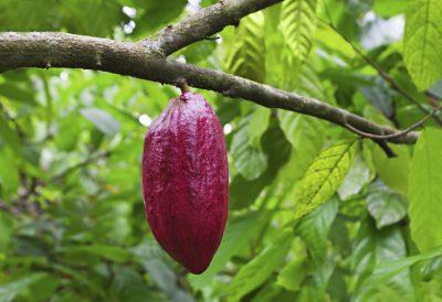 Gruppenreise Madagaskar -Kakao Baum - Madagaskar