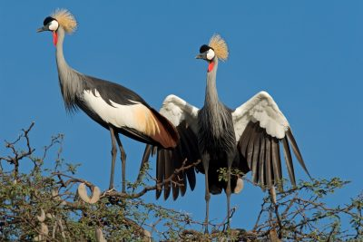 Kraniche - Hwange National Park - Simbabwe