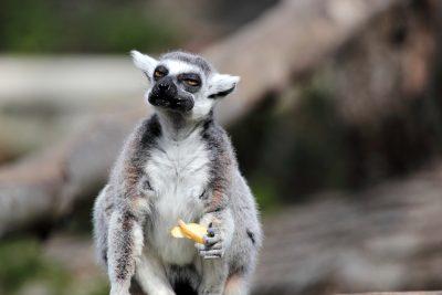 Lemur mit Obst - Madagaskar