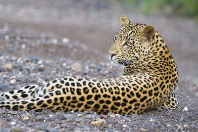 Leopard - Chobe National Park - Botswana