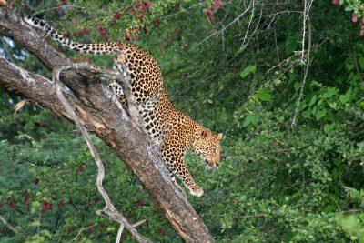 Leopard im Baum - Kalahari Wueste - Botswana