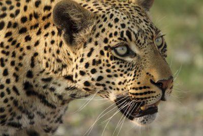 Leopard im Okavango Delta - Botswana