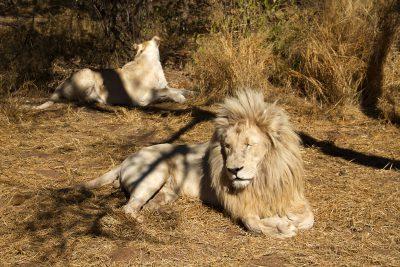 Liegender Loewe - Krueger National Park - Suedafrika