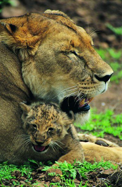 Loewen - Serengeti National Park - Tansania
