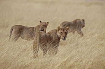 Loewenfamilie - Masai Mara - Kenia