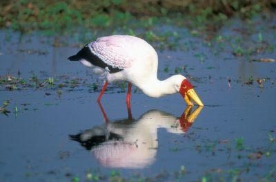 Nimmersatt steht im Wasser - Botswana
