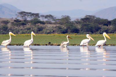 Pelikane im See - Lake Naivasha - Kenia