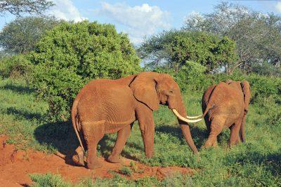 Rote Elefanten - Tsavo Ost Nationalpark - Kenia
