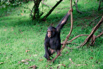 Schimpanse - Queen Elizabeth National Park - Uganda