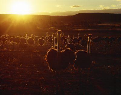 Namibia Suedafrika Rundreise - Suedafrika Erlebnisreise - Strauße im Sonnenuntergang - Oudtshoorn- Suedafrika