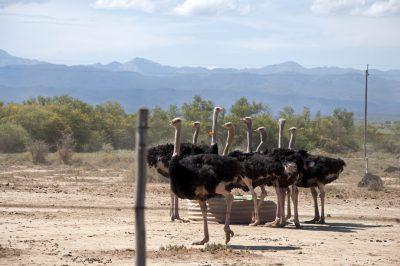 Suedafrika Abenteuerreise - Strausse - Oudtshoorn - Suedafrika