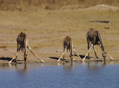 Trinkende Giraffen - Hwange National Park - Simbabwe