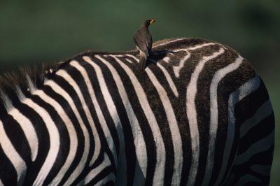 Vogel auf Zebra - Serengeti National Park - Tansania