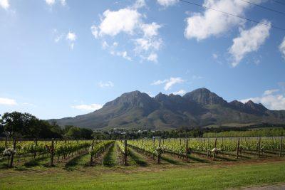 Namibia Suedafrika Botswana Rundreise -Weinreben - Stellenbosch - Suedafrika