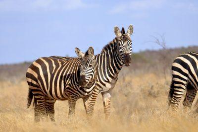Zebras - Amboseli National Park - Kenia
