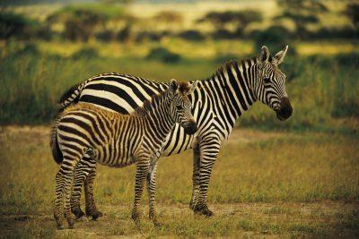 Lesotho Rundreise -Suedafrika individuell -Zebras - Garden Route Private Game Park - Suedafrika