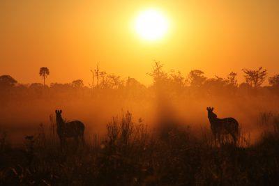 Zebras in der untergehenden Sonne - Botswana