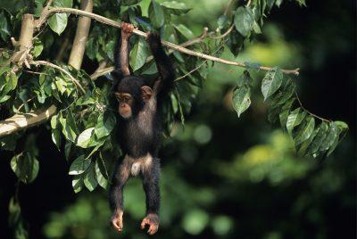 Uganda Rundreise -junger Schimpanse - Queen Elizabeth National Park - Uganda