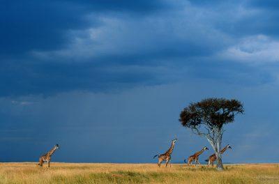 rennende Giraffen - Masai Mara - Kenia