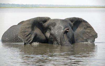 Namibia Abenteuerreise - Rundreise durchs Südliche Afrika - schwimmender Elefant im Fluss - Okavango - Botswana