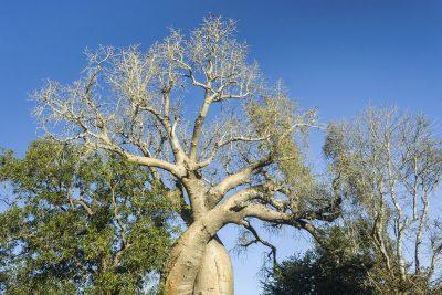 Baobab Baum - Madagaskar