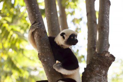 Gruppenreise Madagaskar -Lemur im Baum - Madagaskar