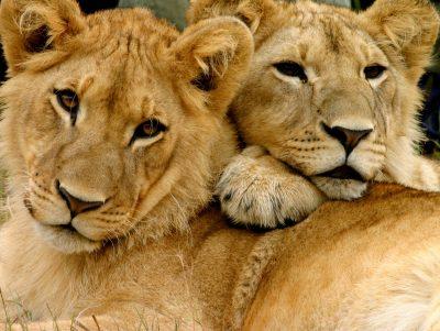 Loewen - Hwange Nationalpark - Simbabwe
